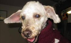 Breed: Poodle   Age: Senior   Sex: M   Size: M Hello there! My name is Buddy, and the volunteers want to rename me Yoda for my big ears :-) I am a very sweet dog, and wants to be around my humans ALL the time. Needless to say I have separation anxiety,