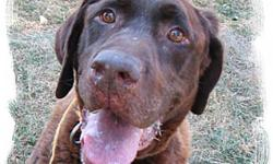 Breed: Labrador Retriever   Age: Senior   Sex: M   Size: L Hi. My name is Magnum and i am an older gent who needs a long term foster home (all expenses paid) or a very compassionate forever home. You see, life started out quite grand for me as it often