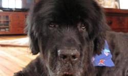 Breed: Newfoundland Dog   Age: Senior   Sex: M   Size: XL Meet Inti. He is a 9.5 year old purebred Newfoundland who loves to gives kisses, receive attention and is absolutely fabulous with everyone he meets, whether 2 or 4 legged.     View Inti's bio page