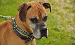 Breed: Boxer   Age: Senior   Sex: M   Size: M Pasha is a handsome older guy who would love the find an adult family to hang out with. Pasha family came on hard time and had to give him up. If you are looking for a wonderful boy and love the boxer breed