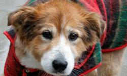 Breed: Collie   Age: Senior   Sex: M   Size: M Teddy loves to cuddle and have belly rubs. He is full of kisses. He enjoys going on walks. He is very clean and is good with other dogs. He would make a great companion for a mature couple or a nice family
