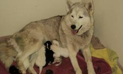 Sire can be directly traced back to the original Siberian huskies owned by Leonard Seppala and is 99.9% pure.(google Sepp-Tech Lakota). Dam is from the Anadyr and Kodiak bloodlines. (Polarstars Whispering Emma). These dogs were bred as working sled dogs