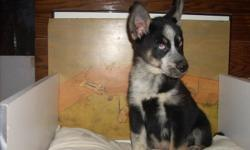 I have 2 maleSeppala pups for sale.  They have their first shots and are ready for a good home.  It is a good idea to research the Seppala breed before you purchase.  Good with children and are very mild tempered and a non aggressive dog.  Not