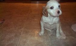 English setter pup for sale, one male available. Execellent hunting stock or makes a great pet. Call for details, 229-0296.