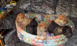There are 7 adorable Shar-Pei (wRINKLE) puppies available, 2 female red fawns, 3 male red fawns, 1 black male, and 1 silver sable male. They all have brush coats. They are 6 wks. old. Raised with children and other dogs. Very friendly and playful puppies.