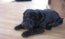 Last of a litter of 6 down to 700.00 We have two black female Shar pei for sale Vet checked,eyes tacked and dewclaws removed,,,We are just outside North Bay and will meet half way to deliver....Please call 705 724 3401