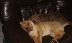We have two girls  available from our litter of 9. Rosie  and Missy has had all 3 sets of vaccinations and deworming. Rosie and Missy are potty trained and good with people and children. Rosie and Missy needs her forever home asap. We have had to make