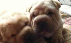 Pure bred shar pei pups ready to go any day now. Beautiful dogs, very smart and affecionate. Must go to loving home, also they are very playful and for the most part paper trained since they were a few weeks old. You can contact me by email or