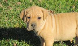 Adorable little sharpei beagle puppies now ready for there new home,  Happy healthy vet checked and vaccainted they will get to be about 35 lbs full grown.  Loyal and child friendly well socilaized they make a great pet.  Puppies come with vet papers