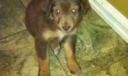 Aussie puppy , she is the last one she has her 1st shot and vet check. We would love to keep her but unable to do to the fact that we have 2 dogs already. Great with Kids. This ad was posted with the Kijiji Classifieds app.
