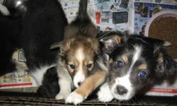 Beautiful puppies waiting for homes. They are well socialized and very cuddly. They come with first shots, deworming and treated with revolution. Mom is 1/2 sheltie 1/2 cocker which make the pups 3/4 sheltir 1/4 cocker. Mom is in the picture with the pups