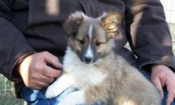 Family raised sheltie puppies, 1 female and 1 male puppy available. Male is in picture 1 , and our female is in picture 2. These two puppies are very loving wonderful puppies, and are looking to become part of their new families.They have received their