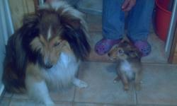 We have beautiful sheltie puppies for sale.  Mom and dad are medium size dogs (12 - 15 pds) with good temperments and are great with kids. These lovable puppies will make a great addition to your home.
