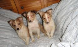 There are 4 puppies, 2 males and 2 females. One male is a merle. The others are Sable and white. They are 8 weeks old and have been Vet checked and vaccinated. Mom and Dad are house pets, this is there second litter. We will supply a sleeping Kennel and
