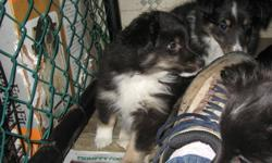 Beautiful Sheltie puppies ready to go to their new homes. 1 tri-colour male and 1 black and white female left. They have had their shots, been dewormed and treated with Revolution. Dad is registered but the mom is not. Both parents available for viewing.