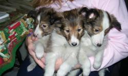 Sheltie Puppies - Not Registered.  6 puppies - 4 females and 2 males.  Puppies have had 1st vacinations and dewormed.  The puppies have been socialized with other dogs, cats, rabbits and small children.  They are very cute and playful.  Ready to go and
