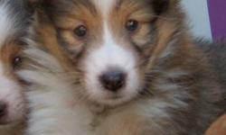2 MONTHS OLD SHELTIE PUPPIES 1 BOY 3 GIRLS HAD 1ST SHOT, DEWORMED EACH PUPPY COMES WITH PUPPY FOOD AND VET CHECKED BOOKLET MATURE TO 14-20 LBS SCARBOROUGH CALL FOR VIEWING 647 891 8866