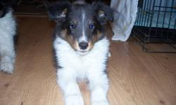 10 week old tri male Sheltie puppy. He has had his first shots, tatooed, dewormed, and CKC registered. He is happy healthy, and smart. He is well socialized raised with cats, dogs, and grandkids. Please call to come and view. We are located in Ladner.