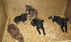 BEAUTIFUL MUST SEE PUPPIES... MOM AND DAD IN HOME... PICTURES POSTED...$300 WITH NEEDLES...price not firm.... PLEASE CONTACT 1-289-389-9055. EXCELLENT FAMILY DOGS