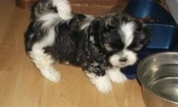 4 male  2 female shi-itzu cross puppies  will deliver to lower mainland