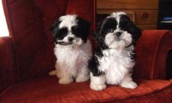 two males, born Aug. 30, home raised and paper trained. Mama Gracie is an 8lb. shiht-zu and Papa  George is a 9lb. shi-poo. please phone 705-723-5716