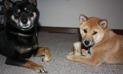 Pedigree Shiba Inu puppies available.  Both parents available for viewing.  Great family pet with fantastic temperament.  Dam is AKC registered and Sire is CKC.  Vet checks, first shots and deworming included.  For more information call 250.275.7676
