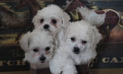 Price reduced to half!!!! leaving and must get these little sweeties homes!!!! I have 3 beautiful shih tzu poodle pups! 2 males 1 female. All 3 are cream and white in color and have amazing personalities. They love kids and are pee pad or papered trained.