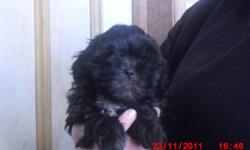 Shih-poo We have 4 boys and 1 girl. They are well socialized with children and other dogs. They are very loving and smart dogs. They well be vet checked and dewormed, before they go to their new loving home call after 4:00 pm 905-939-2024  THE TWO BOYS
