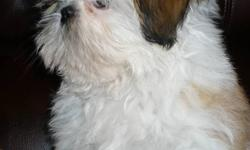 Shih-Tzu puppies,..Quality.416-970-6411  good with kids and other pets, home raised, potty, stairs, outside trained, shots, dewormed, 2 year health guarantee.  Golden & white ,...and brown with black mask.