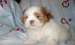 We have for sale 5 beautiful pure bred Shih-Tzus there is 2 males and 3 females-They are hypo-alergenic-Non shedding- great for apartments or condos-Good with children-Very inteligent-They have had there 1st set of needles-Have been dewormed-Come with vet