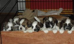 Marley had 9 puppies & they are looking for new homes. We have 6 Males who are all a brown & white. asking $300 We have 1 female Beige & White, asking $300 They are all very cute & perhaps one of these puppies will show you how cute they are once you have