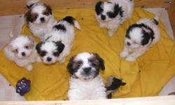 Beautiful Shih-tzu puppies for sale...They were born on November 4th 2011.there parents can be seen on site..there are 2 female and 4 males..they will be vet checked..needled and dewormed on january 5th 2012 so they can't be rehomed until january 6th 2012