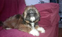 BEAUTIFUL AND PLAYFUL MALE SHIH TZU PUPPY FOR SALE. VACCINES AND DEWORMERS UP TO DATE. GREAT PERSONALITIES. GOOD WITH KIDS AND GET ALONG WITH OTHER PETS. READY TO GO