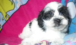 1 beautiful ShihPoo left for sale she is a female- They are non shedding, Hypo-Alergetic, Very friendly with other dogs, Good with children - Will grow to about 8 to 10 pounds-Have had there first set of needles-Have been dewormed 2 times- Have a health