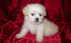 We have only 4 beautiful ShihPoos left for sale there is 2 males and 2 females -They are Hypo Allergenetic-Non Shedding-Will grow to about 10 to 12 pounds-Good with other dogs-Great with children -Ideal for apartments or condos-Very inteligent-Have had