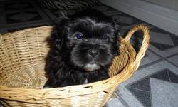 1-female puppy 3-male puppies mostly black with some white dewormed eating and drinking on their own using paper for messing-sometimes miss though very playful and cuddly ready to go 1st 2 are boys last1 girl e-mail for more information