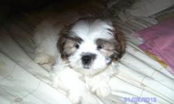 Female shih poo for sale she is very cute and playfull. She comes from a litter of 5 and is the last one left. If interested please email or call.