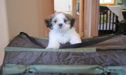 Two month old male Shih Tzu puppy comes with bed and indoor house. Puppy already has his first shots.Come with Pedi Paws.