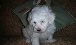 SCHICON PUPPIES CUDDLY, LOVING, ADORABLE, GREAT COMPANIONS  HYPO ALLERGENIC, NON SHEDDING, VET CHECKED, 1st SHOTS DE-WORMED