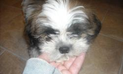 REDUCED PRICE!!!! HE IS READY TO GO!!!!!!!!     I have 1 Shih Tzu Male Puppy  He has had 1st shots, been de-wormed and has a Vet Health Certificate. He is a Non-shedding, hypo-Allergenic dogs. That will make a great family pet!   Please feel free to