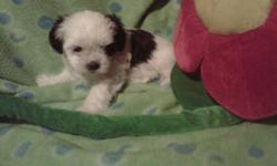 Shih Tzu/Maltese pups for sale by Elizabeth Munroe,   First needles, dewormed and flea treated, great family pet, Mother weighs in about 10-12 pounds, Father about 8 pounds, Puppies were born November 25th,2011, Will be ready for there new home January