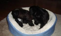 VERY FUN LOVING GREAT TEMPERAMENT PARENTS  ON SITE THEY COME VET CHECKED DE-WORMED AND FIRST SHOTREADY TO GO JAN 15 VERY HEALTHY THERE ARE THREE BOYS AND 1 GIRL TWO ARE WHITE AND BLACK ONE IS MOSTLY BLACK WITH WHITE PAWS AND ONE IS BROWN AND WHITE  PHONE