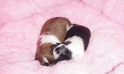 I have 2 pups left for sale. I am a Shih Tzu Breeder & have been for many years. These little angels are non shedding & hypo allergenic. They will grow to about 8-10lbs. My puppies & parents are full breed (not registered) Great temperments & good with