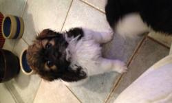 1 GIRLS LEFT> VERY NICE MIX DOGS WILL NOT SHED HAVE HAD FIRST SHOT MOTHER 10 LBS SHIH TZU FATHER 15LBS POODLE READY TO GO TO THIER NEW HOME SHOWING IN THE EVENINGS AFTER 6:00 PM CALL 778-240-9301 >