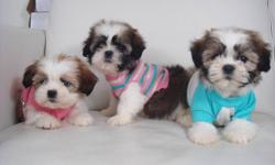 SHIH TZU PUPPIES 1 BOY | 1 GIRL AD UPDATED TUE NOV 1/2011 We have a litter of adorable shih tzu puppies. Theyre mostly light brow, dark brown, and white. We estimate they will mature to average around 11/12 lbs. Shih tzus are very smart and easy to train.