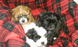 We have 2 adorable shih tzu's puppies left. Little black one went to his new home yesterday. 2 little girls left. We own both mom & dad. Dad is pure shih tzu & mom is shih tzu x toy poodle.They are very affectionate, loving dogs, great companion dogs. Non