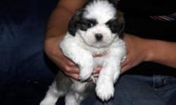 Parents are UKC registered and puppies are CKC registered 4 males 4 females ready to go next wk.. rare colour blue, brown and white, black and white. This ad was posted with the Kijiji Classifieds app.