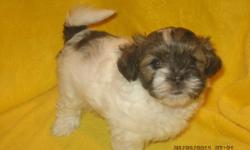 SHIH TZU PUPPIES FOR SALE - Only 3 males left. These cuddly puppies are well mannered and home raised with mother and father on site. They are vet checked, dewormed and have their 1st shots. These adorable, playful puppies are fun-loving and enjoy being