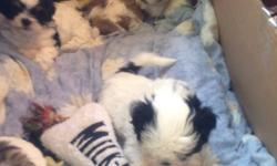 Hi I have 5 shih tzu puppies available 3 females and 2 males. They are playful and outgoing and looking for a new home on time for Christmas. Earliest home date is December 18th, and I am willing to hold them till Xmas eve if someone would like? Call