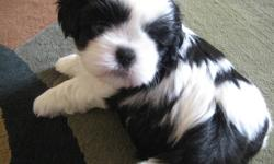 Two purebred Shih Tzu puppies for sale!!! $500. 1 male and 1 female- both are black and white. Parents are both CKA certified. Puppies will have first shots. Willing to Hold until Christmas. If interested, call (519) 992-2051